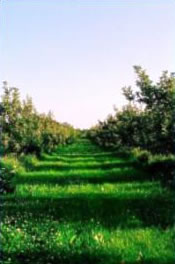 Apple Orchard as Open Space